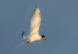 Indian river tern diving  to prey fish The Indian river tern or just river tern is a tern in the family Laridae.