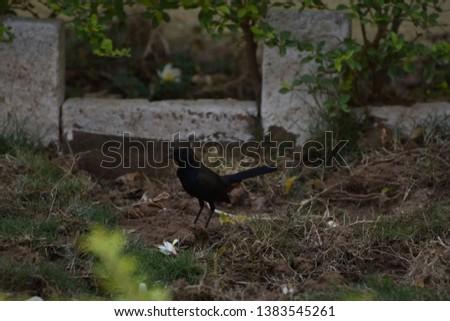 Indian Robin Female Bird, It comes in the list of indian Garden Birds Stock fotó ©