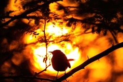 indian robin in burning sunset background lighting