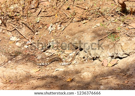 Indian Rock Python, Gir National Park, Sasan, India