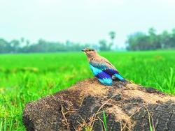indian roller bird nilkanth bird