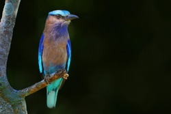 Indian Roller (Coracias benghalensis) on the branch and dark green background