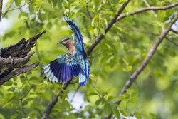 Indian roller in Bardia national park, Nepal ; specie Coracias benghalensis family of Coraciidae