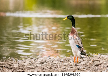 Indian Runner Duck, Anas platyrhynchos domesticus, male with yellow beak, orange legs, feathers, standing upright on grey stony lake shore, green water in background, reflection in water, copy space #1195298992