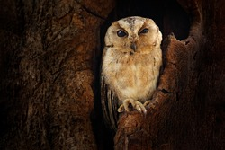 Indian scops owl, Otus bakkamoena, rare bird from Asia. Malaysia beautiful owl in the nature forest habitat. Fish owl sitting on tree in the dark green tropical forest.