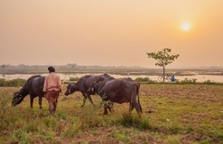 Indian shepherd grazing buffaloes at sunset at a rural village in West Bengal India.
