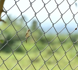 Indian Silverbill (Euodice malabarica) bird looking for insects sighted at Panna National Park on a fence, Madhya Pradesh, India, Asia