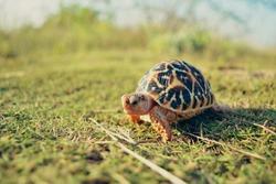 Indian star tortoise (added filter)