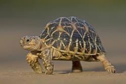 Indian Star Tortoise at Indroda Nature Park, Gandhinagar, India