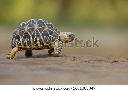 Indian Star Tortoise at Indroda Nature Park, Gandhinagar, India  Stock photo ©