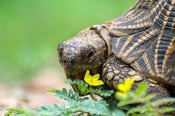 Indian star tortoise feeding on phyllanthus form chinnar wildlife sanctuary