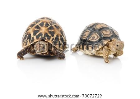 Indian Star Tortoise (Geochelone elegans) and Leopard Tortoise (Stigmochelys pardalis) part ways against white background.