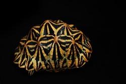 Indian star tortoise (Geochelone elegans) in black background