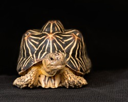 Indian star tortoise (Geochelone elegans) is a species of tortoise found in dry areas and scrub forest in India and Sri Lanka