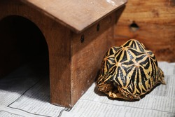 Indian Star tortoise (Geochelone elegans) rare and endangered fauna from Asia