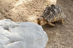 Indian star tortoise (Geochelone elegans) walks behind a rock in India, Pakistan or Sri Lanka.