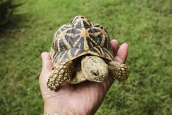 Indian star tortoise on hand
