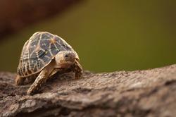 Indian star tortoise slowly walking in gujarat, India