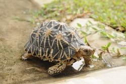 Indian star tortoise walking