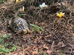 Indian Star Tortoise walking in the dry soil garden - exotic animal