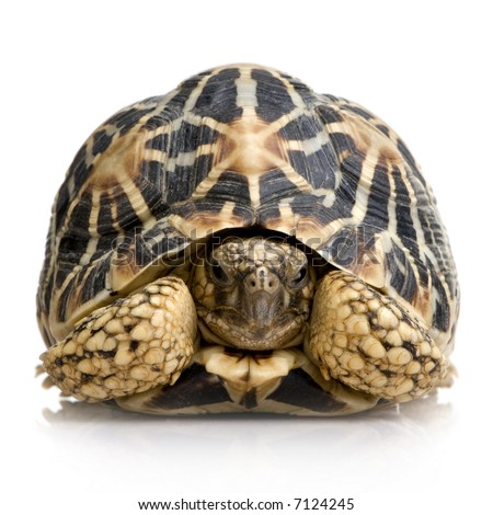 Indian Starred Tortoise in front of a white backgroung