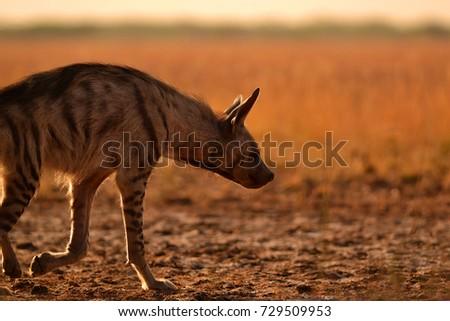 Indian striped hyena