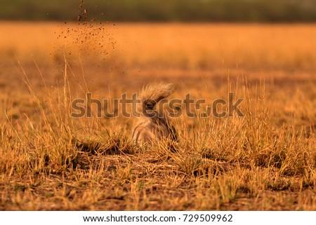 Indian striped hyena digging a den