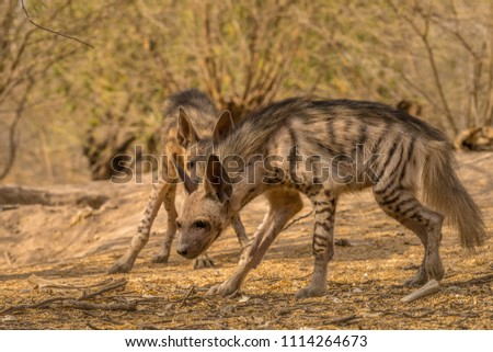 Indian Striped Hyena habitat shot taken at Little Rann of Kutch in India. It was evening time and the Hyenas came out from the den in search of food