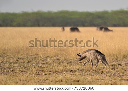 Indian Striped Hyena landscape