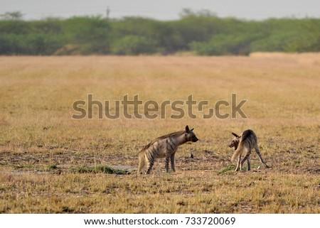 Indian Striped Hyena pair fighting