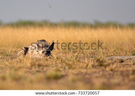Indian Striped Hyena relaxing