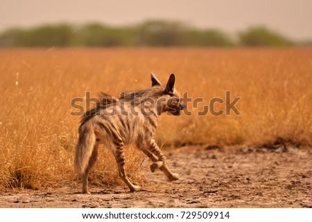 Indian striped hyena running