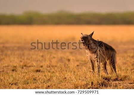 Indian striped hyena soaking up the morning sun