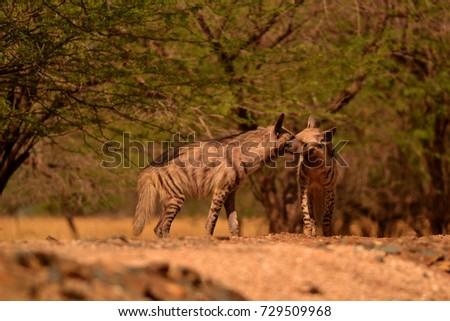 Indian striped hyenas bonding