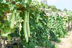 Indian vegetables long winter melon gourd bottle / Calabash gourd or bottle gourd hanging on the vine plant tree in the garden