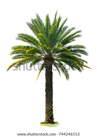 Indian Wild Date palm tree isolated on white background (Sugar Wild Date, Silver Date,Toddy Palm)