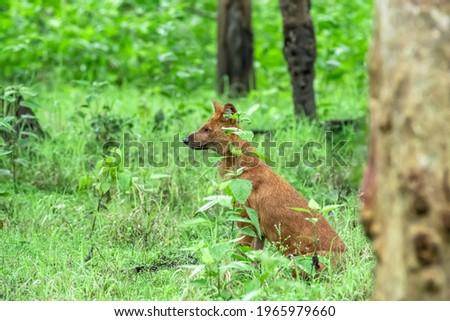 Indian wild dog in Kabini forest Zdjęcia stock ©