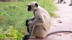 Indian Wild Monkeys. Langur Monkey in India.