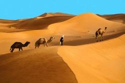 Indigenous berber man with dromedary camels travelling in Sahara desert