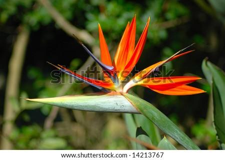 Indigenous decorative evergreen plant of a Strelitzia Reginae, crane flower or bird of paradise, in a garden in South Africa.