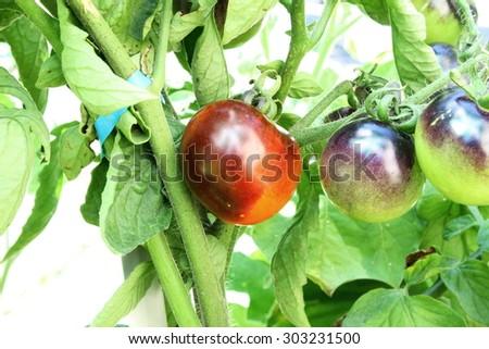 indigo rose black tomato on tomato plant