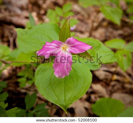 Individual trillium plant flowers in late April and early May on Appalachian trail