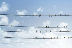 Individuality concept, one bird standing out from the crowd of other birds on the power line