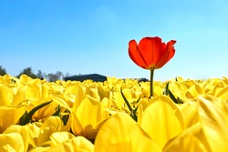 Individuality, difference and leadership concept. Stand out from the crowd. A single red tulip in a field with many yellow tulips against a blue sky in springtime in the Netherlands