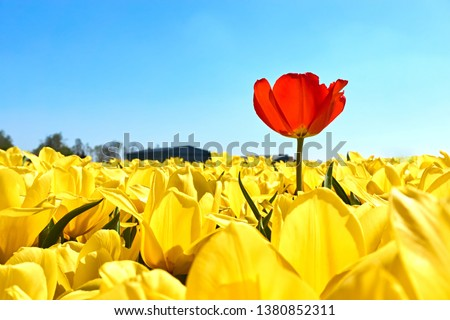 Individuality, difference and leadership concept. Stand out from the crowd. A single red tulip in a field with many yellow tulips against a blue sky in springtime in the Netherlands             Foto stock ©