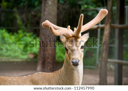 Indo-Chinese Eld's deer or  Purple Fleabane , Little iron weed , Ash-coloured fleabane