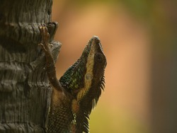 Indo-Chinese Forest Lizard, Blue Crested Lizard in Myanmar, Southeast Asia. Asian reptile with camouflage scales climbing tree bark
