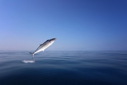 Indo-Pacific king mackerel or Spotted mackerels is jump over the sea to hunt for food,design in your work concept.