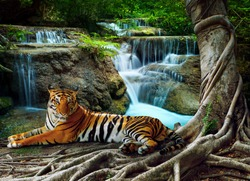 indochina tiger lying with relaxing under banyan tree against beautiful pure nature limestone waterfalls use as green natural background ,backdrop