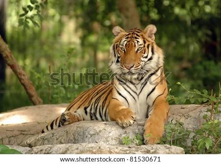 Shutterstock Indochinese Tiger